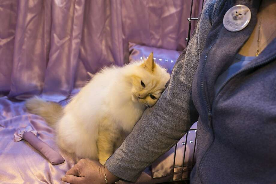 "Snugglepuss:A cat rubs up against his owner's arm as he waits to be judged at the Governing Council of the Cat Fancy's ""Supreme Championship Cat Show"" in Birmingham, England. Photo: Matt Cardy, Getty Images"