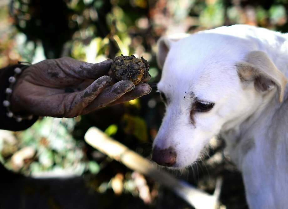 Forgot the plastic bag, did you? The moist object held by Ezio is actually a truffle found by his dog, Jolli, in Monchiero's Woods, near Turin, Italy. Ezio has been hunting the valuable fungus for 50 years. Photo: Olivier Morin, AFP/Getty Images
