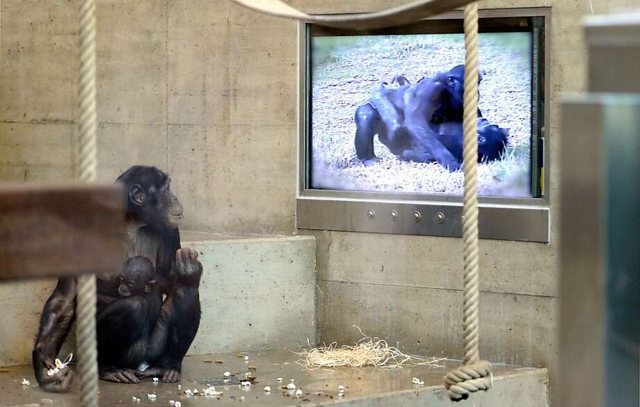 Avert your eyes, dear:A primatologist from the United States is studying what kinds of films the bonobos at Stuttgart, Germany's Wilhelma Zoo prefer. But shouldn't they have put the baby to bed first? Photo: Bernd Wuestneck, AFP/Getty Images