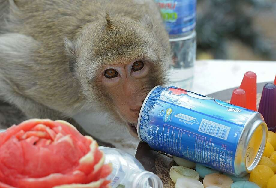 "In all their sugary, carbonated goodness:The annual ""monkey buffet"" in Thailand's Lopburi province offers more than 5,000 pounds of healthy fruits and vegetables, so what does this simian make a beeline for? The softdrinks. Photo: Pornchai Kittiwongsakul, AFP/Getty Images"