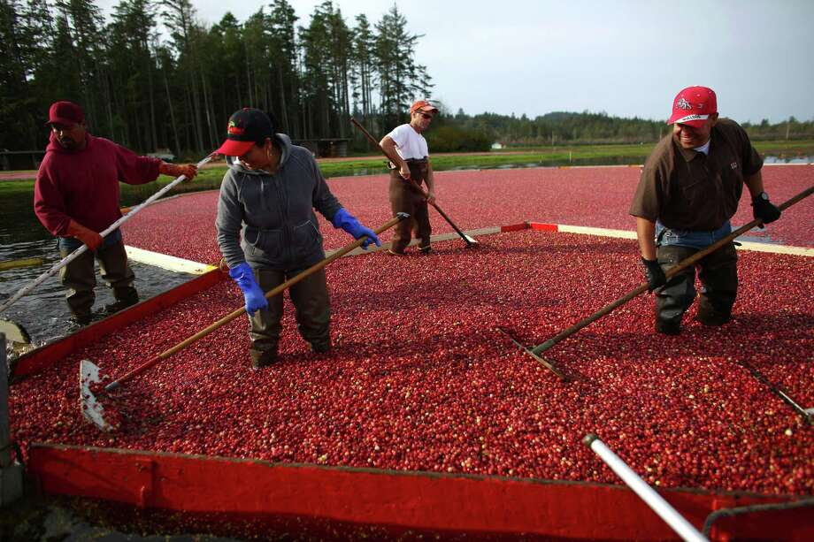 From left, Juan Hernandez, Guillemina Hernandez, Randy Evans and Daniel Lopez gather floating cranberries during the October 11, 2013 harvest at Cran Mac farm in Ilwaco, on the Washington coast. October and November are the typical harvest months for cranberries in our state. Washington is one of the top producers of the cranberry crop. The berries grow on a small bushes in bogs that are flooded and agitated with a machine, which causes the berries to float to the top for harvest. Owners Ardell and Malcolm McPhall have worked the farm since 1982.  Photo: JOSHUA TRUJILLO, SEATTLEPI.COM / SEATTLEPI.COM