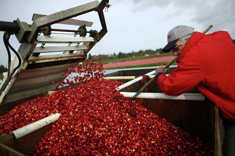 Blane Saunders evens out cranberries as they fall off an elevator during the the October 11, 2013 harvest at Cran Mac farm in Ilwaco, on the Washington coast. October and November are the typical harvest months for cranberries in our state. Washington is one of the top producers of the cranberry crop.  The berries grow on a small bushes in bogs that are flooded and 