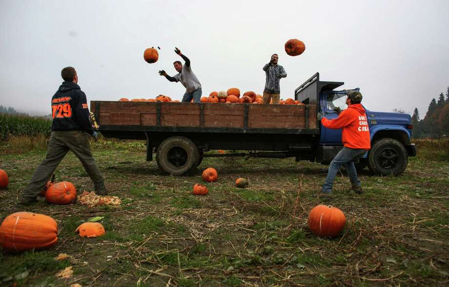 Workers toss harvested pumpkins from a truck at Bob's Corn Farm in Snohomish County. The popular destination farm, known for its corn maze, and pumpkin patches, employees dozens of area young people during harvest time. Photo: JOSHUA TRUJILLO, SEATTLEPI.COM / SEATTLEPI.COM