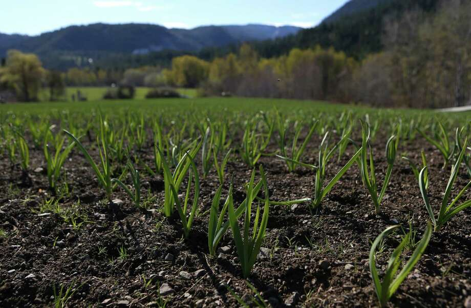 Garlic sprouts from the ground at the Channing Family Farm in the Twisp River Valley earlier this year. The mule-powered, organic farm produces certified organic garlic and potatoes. Photo: JOSHUA TRUJILLO, SEATTLEPI.COM / SEATTLEPI.COM