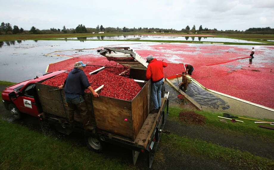 Workers at Cran Mac farm in Ilwaco load cranberries from a bog into a truck via an elevator. The berries grow on small bushes in bogs that are flooded and agitated with a machine, which causes the berries to float to the top for harvest. Photo: JOSHUA TRUJILLO, SEATTLEPI.COM / SEATTLEPI.COM