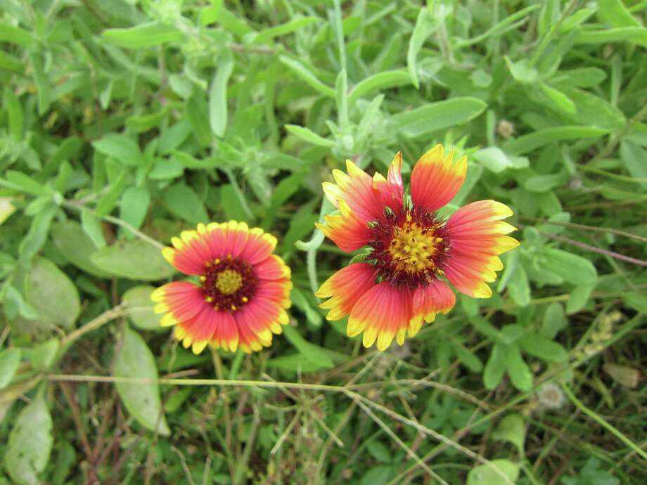 Laffite's Cove Nature Preserve on Galveston Island is a flower-lover's dream. Photo: Syd Kearney