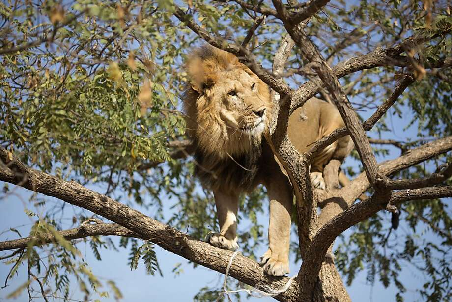Can't get the kitty to come down? Maybe if you open a can of tuna ... Salam takes in the view from atop a tree at Ramt Gan Safari near Tel 