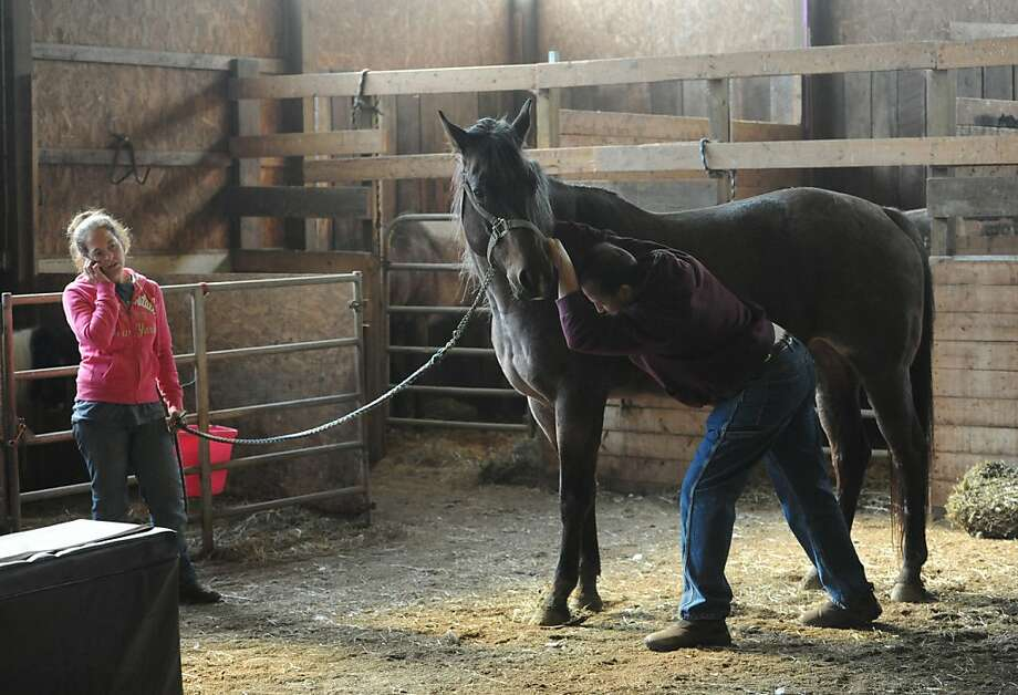 Massaging away the pain: Chiropractor Dr. Dave Smolensky manipulates Sunny's shoulder as owner Jennifer Bonzo makes a call at a barn in Valencia, Pa. Photo: Philip G. Pavely, Associated Press