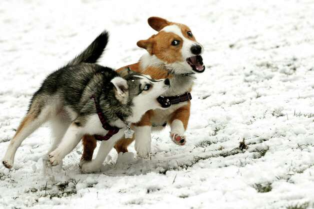 Echo, 7 months, an Alaskan Klee Kai, left, and Chauncey, 6 months, a Pembroke Welsh Corgi, chase and nip each other as they both experience snow for the first time on Tuesday, Nov. 26, 2013, at Washington Park in Albany, N.Y. Adrian Sledziewski, who owns Echo, and Jon Petruccelli, Chauncey's owner, both live in Albany. (Cindy Schultz / Times Union) Photo: Cindy Schultz / 00024809A
