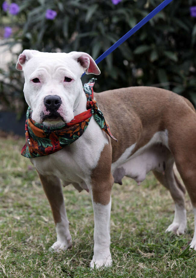 Pretty Girl is an American Staffordshire terrier with Animal Care Services identification A275273. Photo: Edward A. Ornelas / San Antonio Express-News