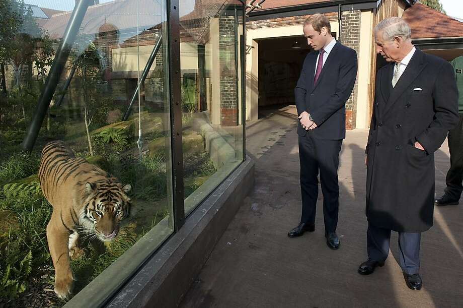 "Prince William, Duke of Cambridge and Prince Charles, Prince of Wales meet ""Jae Jae"" a Summatran Tiger, as they attend a meeting of 'United for Wildlife' at the Zoological Society of London on November 26, 2013 in London, England. The Duke of Cambridge is President of United for Wildlife, a collaboration of seven of the largest global Conservation organisations.  Photo: WPA Pool, Getty Images"
