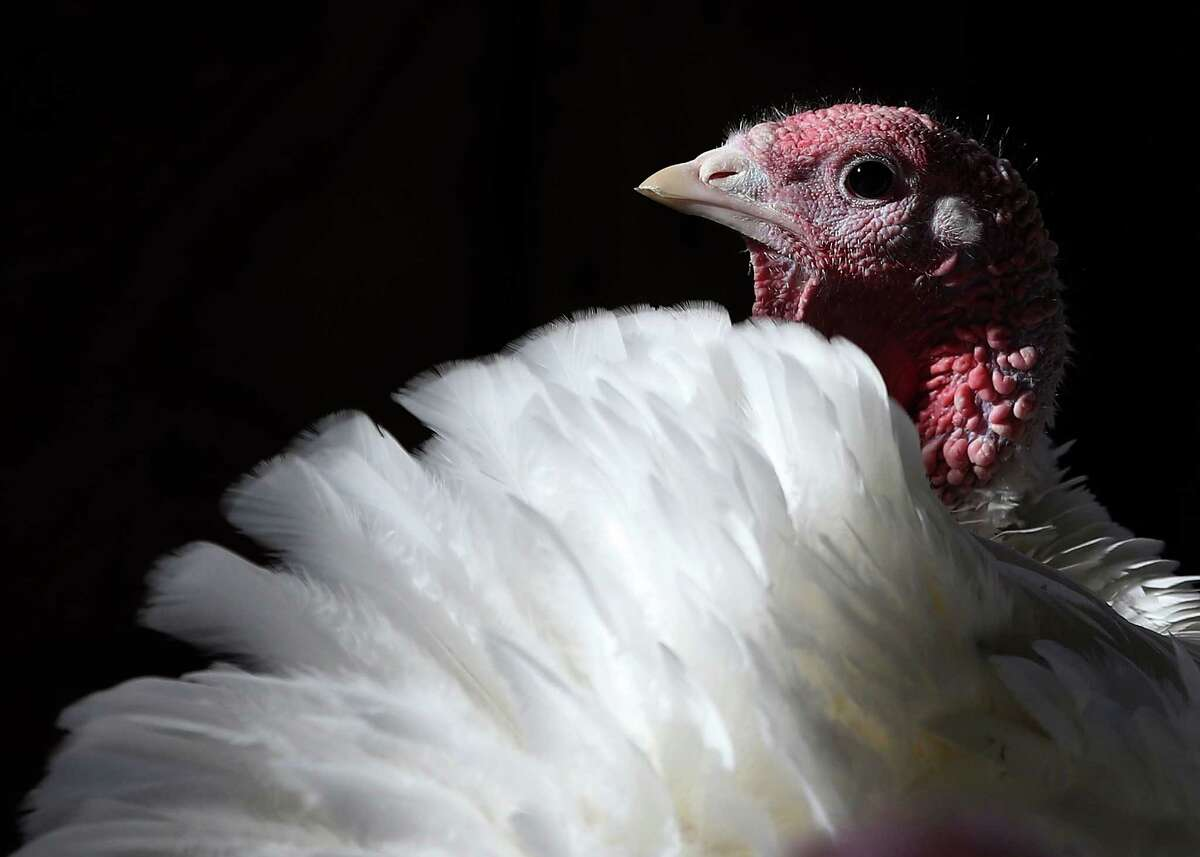 With less than one week before Thanksgiving, a turkey sits in a barn at the Willie Bird Turkey Farm November 26, 2013 in Sonoma, California. An estimated forty six million turkeys are cooked and eaten during Thanksgiving meals in the United States.