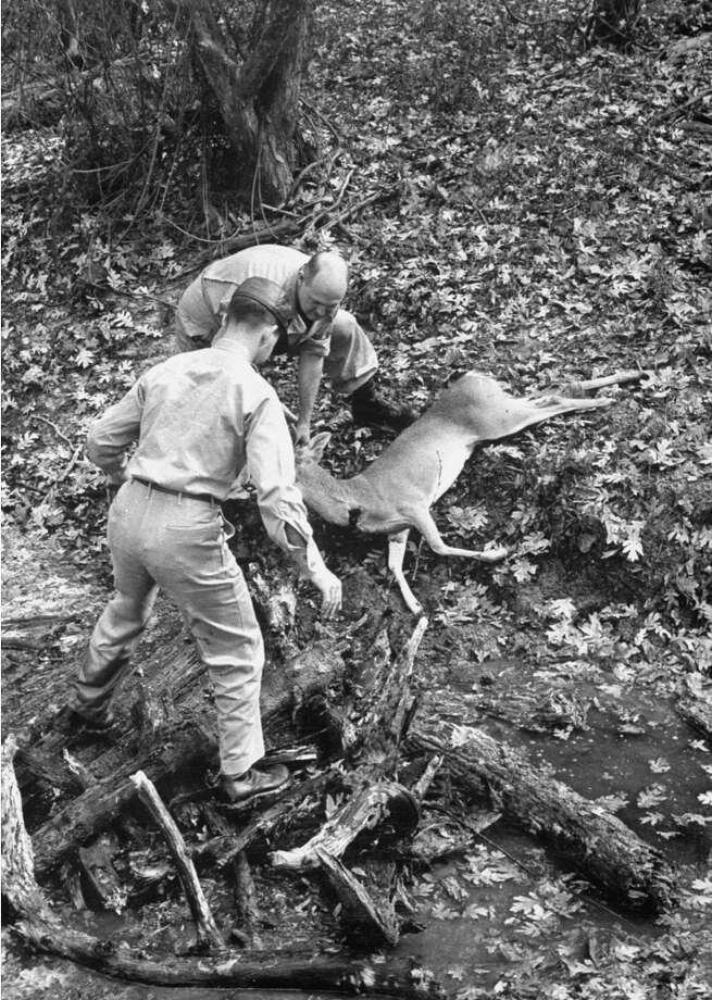 Lugging back a deer, after an early morning hunting trip, 1952. Photo: John Dominis, Time & Life Pictures/Getty Image