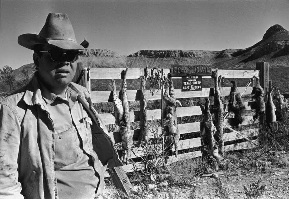 A man stands outside a gate from which the carcasses of dead animals hang, Texas, 1968. Photo: Shel Hershorn, Getty Images