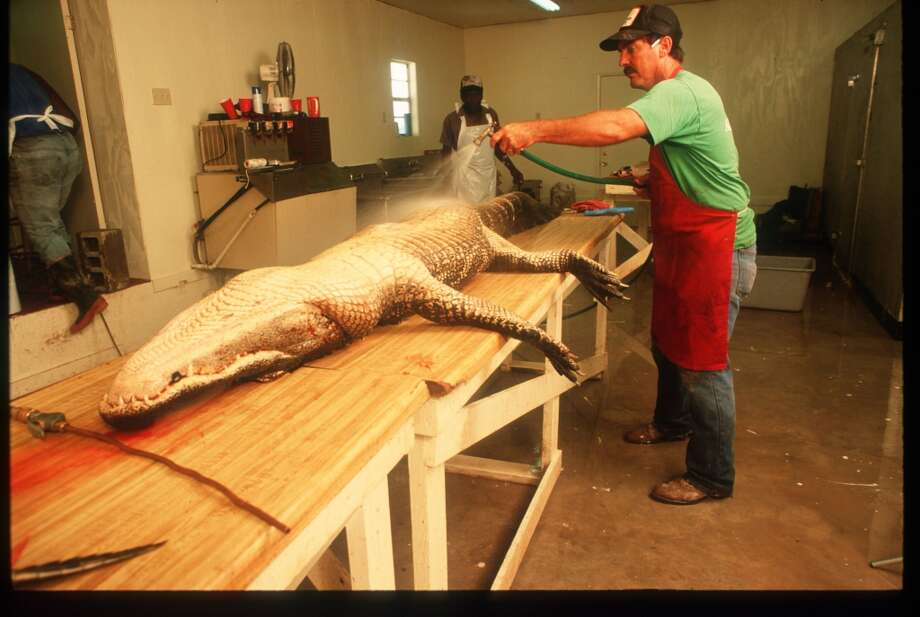 Workers process a dead alligator during Gatorfest September 16, 1991 in Anahuac. Photo: Paul S. Howell, Getty Images
