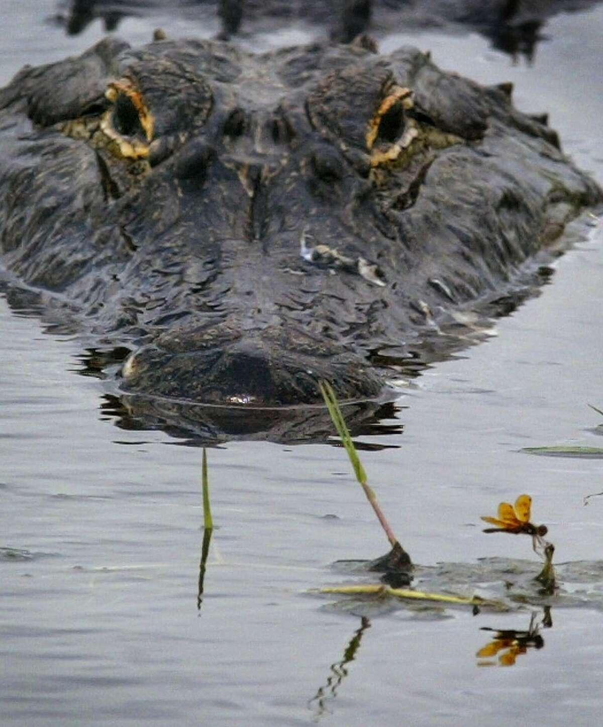 Alligator General Season: Core Counties: Sep. 10-30 Non-core Counties: Apr. 1- June 30