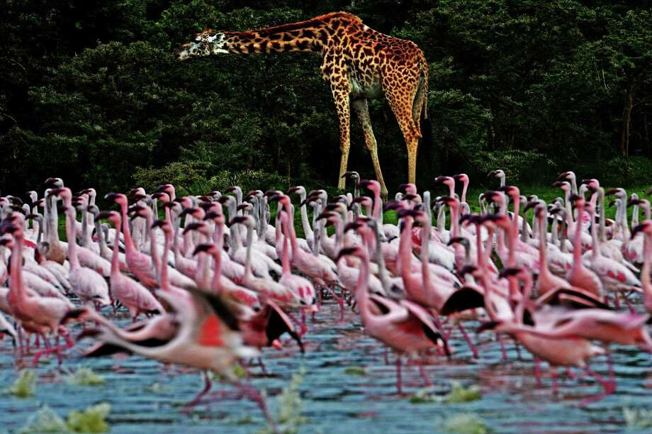 Lake Baringo, Kenya The number of flamingos varies during a year depending on the water level and food availability
