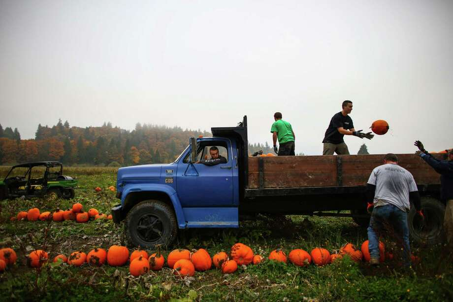 From left, Tyler Minette, Marcus McAulliffe, Nick Lathrop, Grant Harper and Scott Smith toss harvested pumpkins into a truck at Bob's Corn Farm in Washington State.  Photo: JOSHUA TRUJILLO, SEATTLEPI.COM / SEATTLEPI.COM