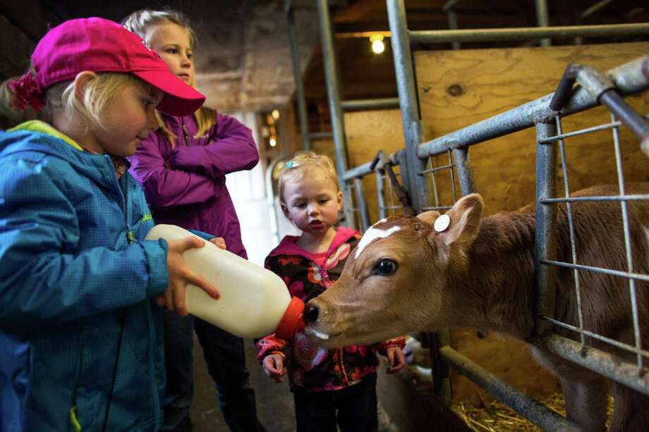 "Etta DeJong, 5, gives milk to a two-day-old calf with her sisters Tabby, 8, and Mieke, 2, at the DeJong family's diary, Eaglemill Farms, in Washington State. The third-generation farm is part of a Darigold farmer-owned cooperative. Farmer Jon DeJong said there is no better way to raise his kids. ""They learn how to work. They get to play and they get to see and touch real animals,"" he said. Photo: JOSHUA TRUJILLO, SEATTLEPI.COM / SEATTLEPI.COM"
