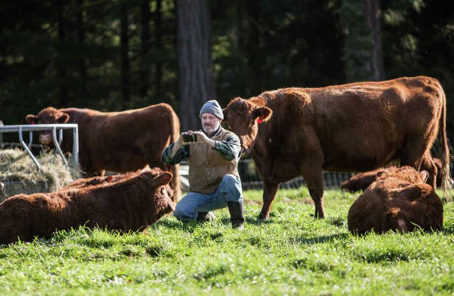 Farmer Jerry Stokesberry takes photos of his grass-fed cows at the Stokesberry Sustainable Farm near Olympia, Wash. Photo: JOSHUA TRUJILLO, SEATTLEPI.COM / SEATTLEPI.COM