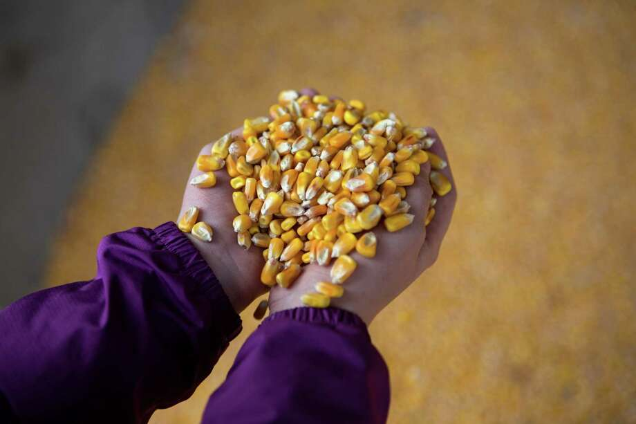 Tabby DeJong, 8, holds a handful of corn used as feed for cows at the DeJong family's diary, Eaglemill Farms. Photo: JOSHUA TRUJILLO, SEATTLEPI.COM / SEATTLEPI.COM