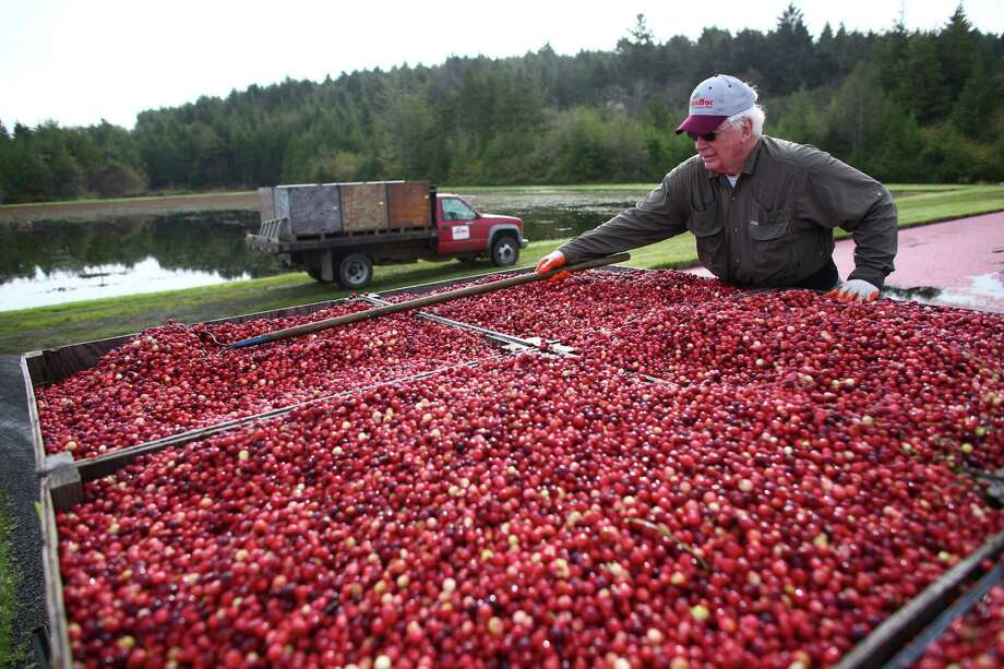 Dick Miller evens out cranberries before transport at Cran Mac farm in Ilwaco, on the Washington coast. Washington is one of the top producers of the cranberry crop in the U.S. Photo: JOSHUA TRUJILLO, SEATTLEPI.COM / SEATTLEPI.COM