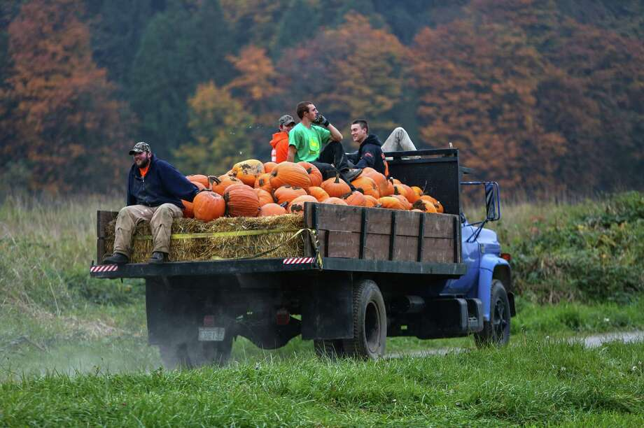 Workers ride in a truck after harvesting pumpkins from a field at Bob's Corn in Snohomish County, Wash. Photo: JOSHUA TRUJILLO, SEATTLEPI.COM / SEATTLEPI.COM
