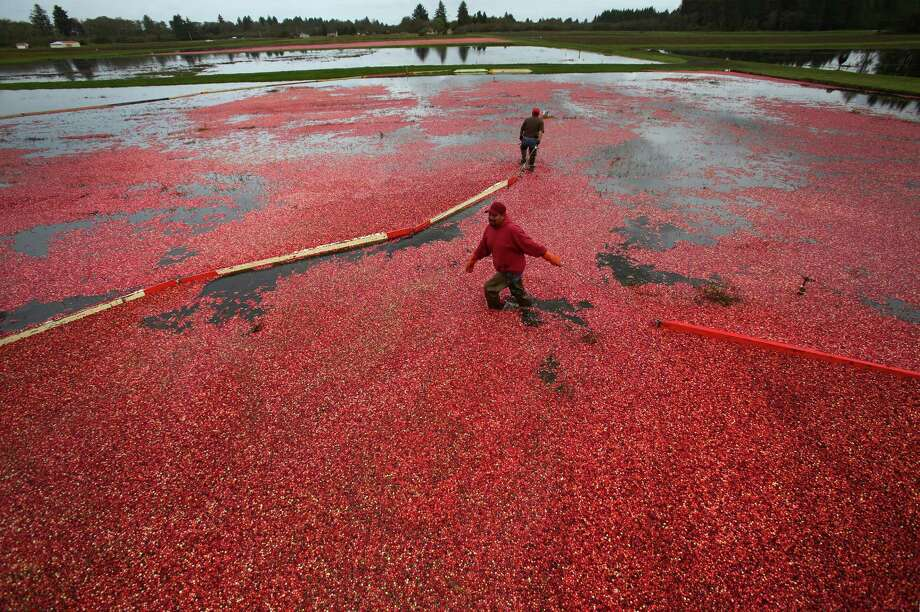 Juan Hernandez and Daniel Lopez gather floating cranberries during the the October 11, 2013 harvest at Cran Mac farm in Ilwaco, on the Washington coast. Owners Ardell and Malcolm McPhall have worked the farm since 1982. Photo: JOSHUA TRUJILLO, SEATTLEPI.COM / SEATTLEPI.COM