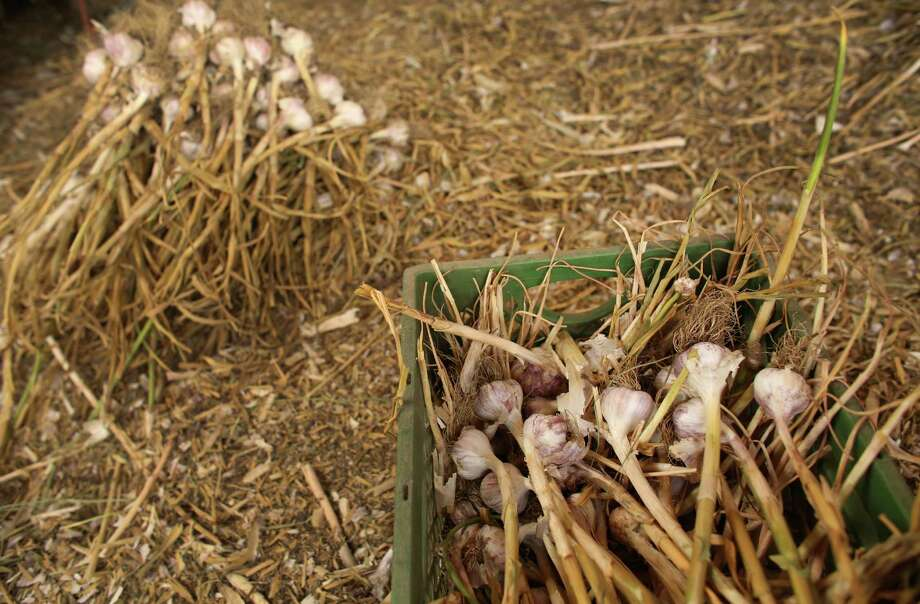Harvested and dried garlic is shown at the Channing Family Farm in the Twisp River Valley in Washington State. The mule-powered, organic farm produces certified organic garlic and potatoes. Photo: JOSHUA TRUJILLO, SEATTLEPI.COM / SEATTLEPI.COM