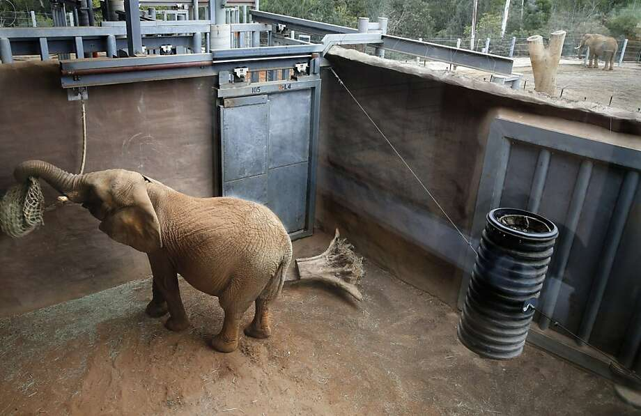 Killer elephant: Mila plays with her feedbag in a quarantine cage at the San Diego Zoo. The 7,600-pound African elephant, who 