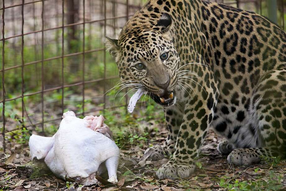 Like most Americans,Reno is having turkey for Thanksgiving. But he prefers his bird on the rare side. (Big Cat Rescue in Tampa, Fla.) Photo: Eve Edelheit, Associated Press