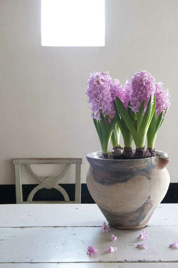 The look of handmade pottery accents the naturalness of hyacinths. (Courtesy www.iBulb.org/MCT) Photo: HANDOUT, HO / MCT