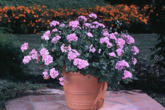 Geraniums thrive during mild to cool temperatures.