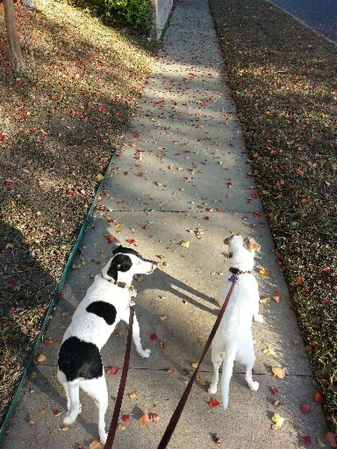 The color of fall leaves strewn about the sidewalks in my neighborhood definitely brightens up my walks with my pooches. Photo: Emily Spicer, San Antonio Express-News