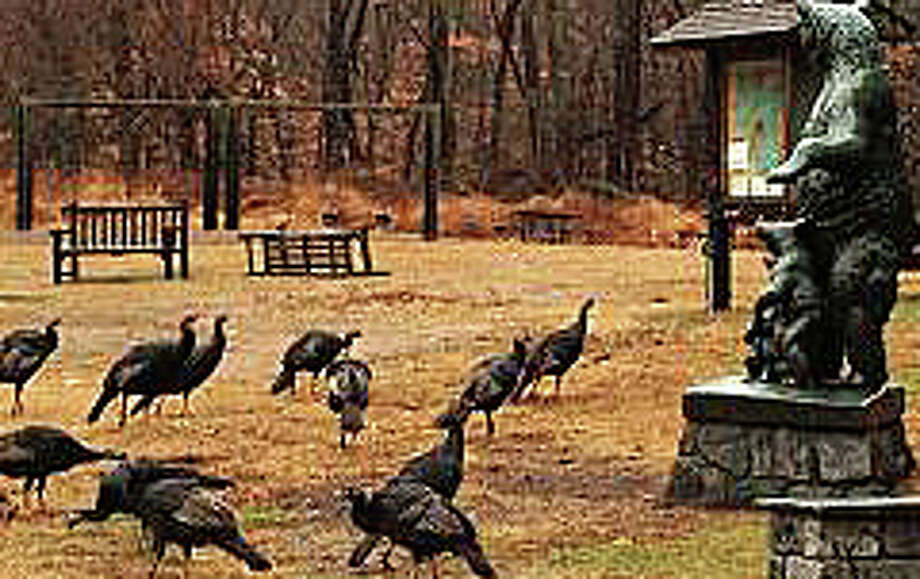 "See if you can find the resident flock of turkeys at Earthplace when the nature center hosts a ""Turkey Walk"" on Saturday. Photo: Contributed Photo / Westport News contributed"