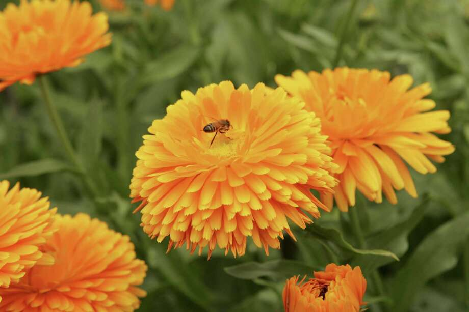 Calendulas have daisylike flowers in shades of gold and yellow to warm the winter garden. Photo: Courtesy Photo