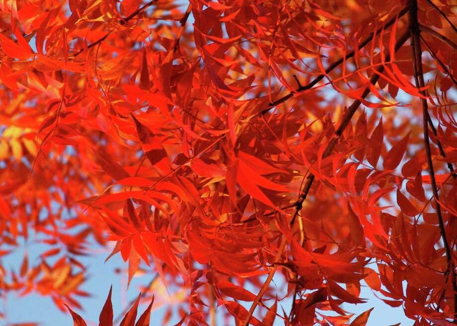 Neil Sperry Chinese Pistachio Fall Foliage Invasive Bermuda