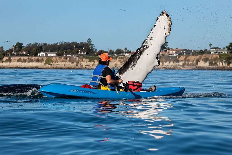 A young whale calf rises near Giancarlo Thomae - close enough to give him a marine mammal's version of a high five during a recent kayaking trip. Photo: Matt Hoffman