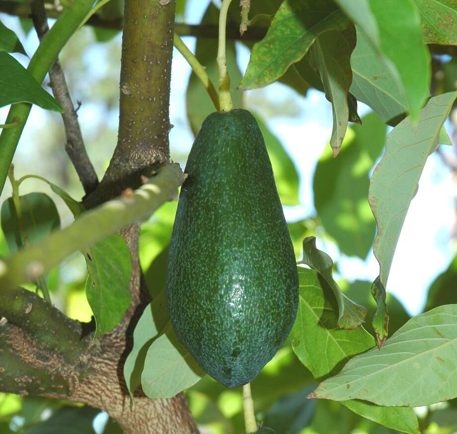 Tropical fruits like the temperate Houston-area climate. Photo: Picasa