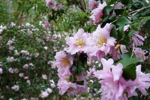 'Pink Snow' camellias