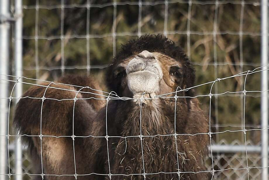Camelhair is so itchy:A Bactrian rubs its neck against a fence at the Calgary Zoo in Calgary, Canada. Photo: Jeff McIntosh, Associated Press