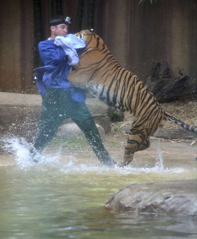 A Sumatran tiger attacks Australia Zoo handler Dave Styles in the tiger's enclosure at the zoo in Sunshine Coast, Australia. Styles suffered puncture wounds to his head and shoulder before he was rescued by fellow zookeepers. He was airlifted to a hospital and is now recovering following surgery. Photo: Johanna Schehl, Associated Press