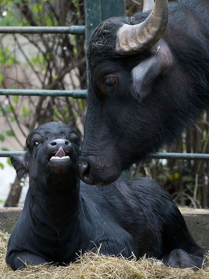 Baby buff: Oskar the baby water buffalo has a pointy tongue. (Zoologischer Garten in Berlin.) Photo: Soeren Stache, AFP/Getty Images