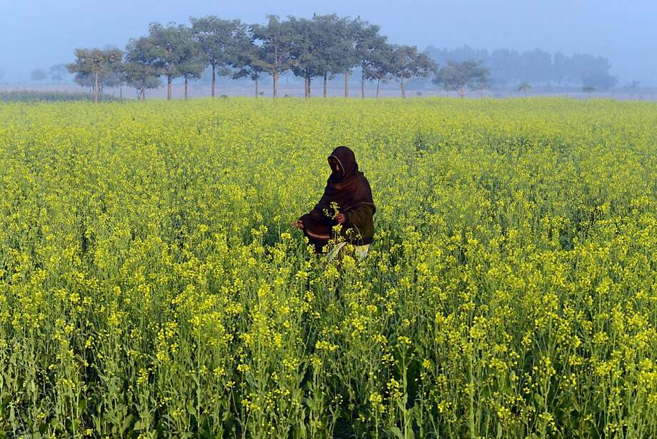 Passing mustard: A Pakistani woman walks through a field of mustard flowers on the outskirts of Lahore. Photo: Arif Ali, AFP/Getty Images