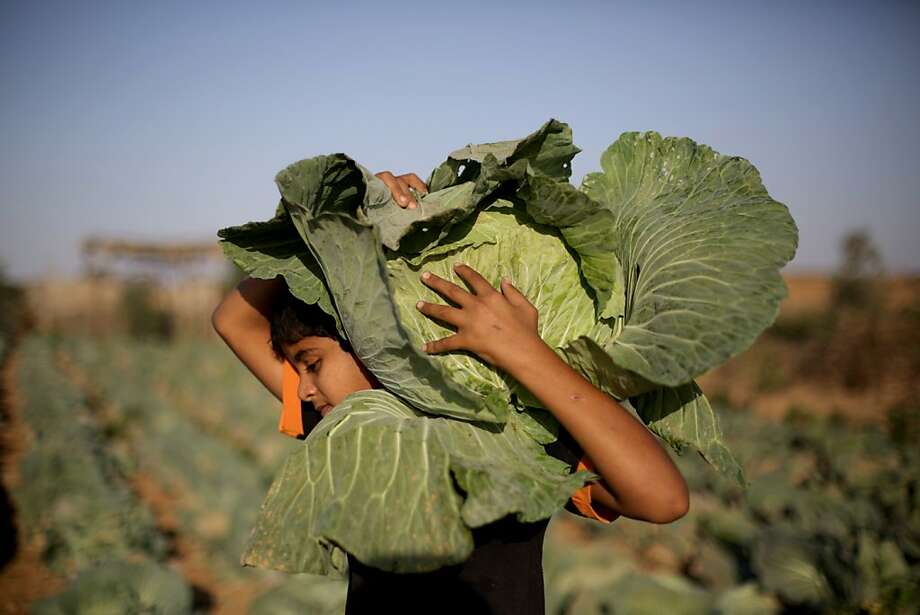 Cabbage patch kid: A Palestinian boy works his father's field in the northern Gaza Strip refugee camp of Jabalia. Photo: Mohammed Abed, AFP/Getty Images