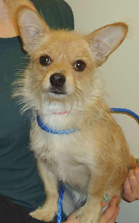 Abby, an 8 month, Terrier/ Chihuahua mix girlfriend. Photo: --
