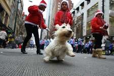 Members of the Washington State Scottish Terrier Club march with their dogs during the annual Macy's Holiday Parade. Photographed on Friday, Nov. 29, 2013 in downtown Seattle.