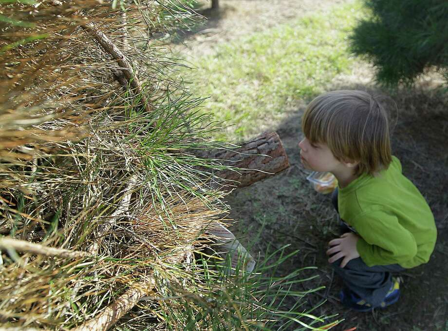 Hunter Monteverde sniffs the end of his families freshly cut Christmas tree. Photo: James Nielsen, Houston Chronicle / © 2013  Houston Chronicle