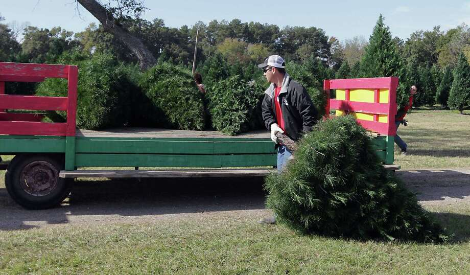An employee loads a Christmas tree onto a wagon at Old Time Christmas Tree Farm. Photo: James Nielsen, Houston Chronicle / © 2013  Houston Chronicle
