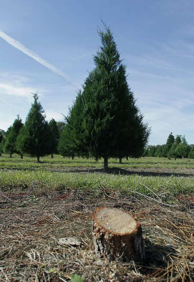 The stump of a freshly cut Christmas tree at Old Time Christmas Tree Farm Saturday, Nov. 30, 2013, in Spring. Photo: James Nielsen, Houston Chronicle / © 2013  Houston Chronicle